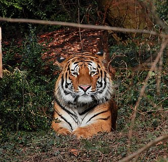 Tigerkater Zoo Landau