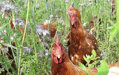 Viehstrich Ei - Hühner
