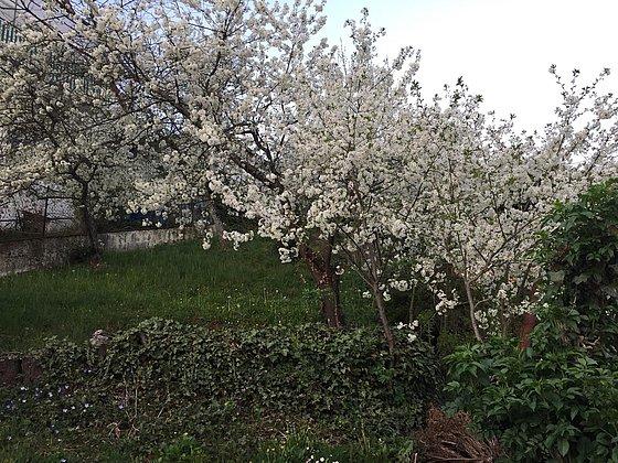 Kirschblüte im Kirschpark_1
